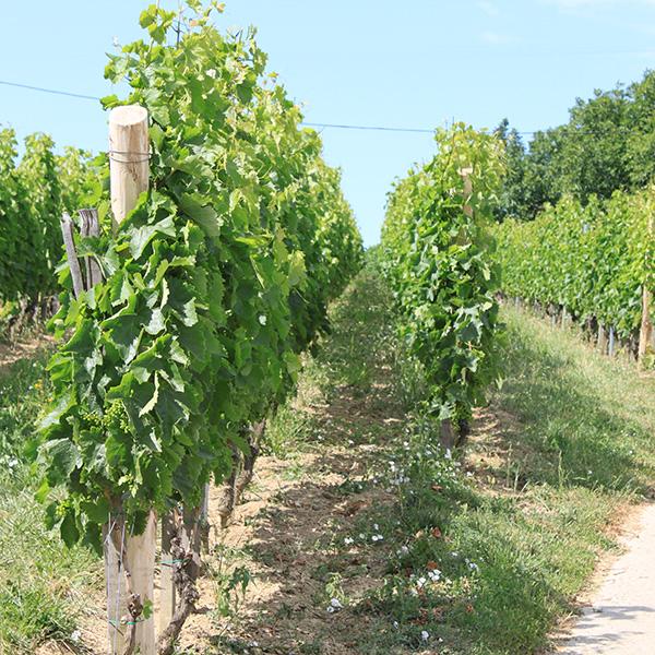 Szekszárdi szőlőtőkék